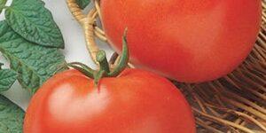Rutgers Tomato Garden Plant