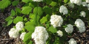 Ryan Gainey Hydrangea Garden Plant
