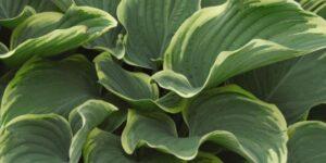 Sagae Hosta Garden Plant