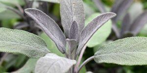 Sage - Common Garden Plant