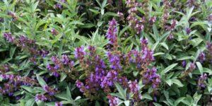 Sage Plants Garden Plant