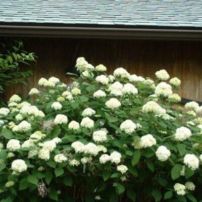Samantha Hydrangea Garden Plant