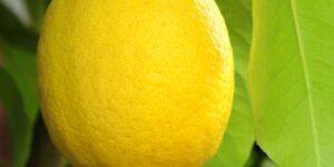 Santa Teresa Lemon Garden Plant