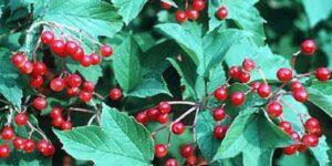 Sargent Cranberrybush Viburnum Garden Plant