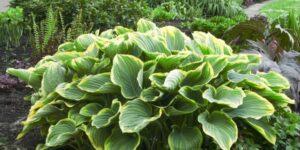 Satisfaction Hosta Garden Plant