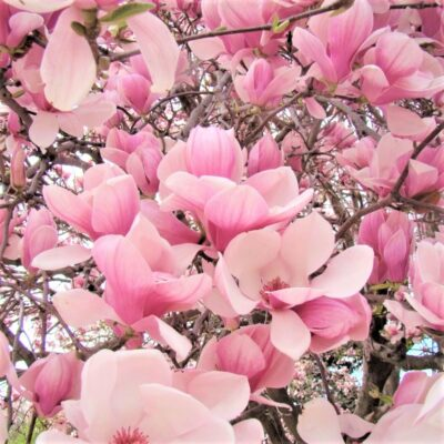 Saucer Magnolia Garden Plant