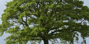 Sawtooth Oak Tree Garden Plant