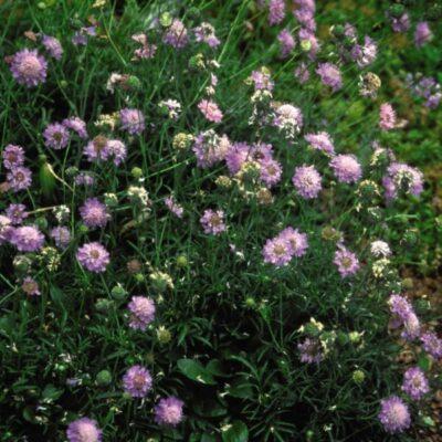 Scabiosa Butterfly Blue Garden Plant