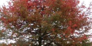Scarlet Oak Garden Plant