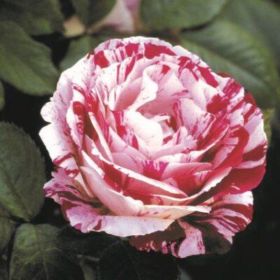 Scentimental Floribunda Rose Garden Plant