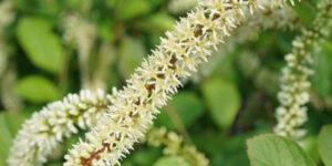 Scentlandia Sweetspire Garden Plant