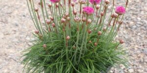 Sea Thrift Splendins Garden Plant