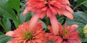 Secret Passion Coneflower Garden Plant