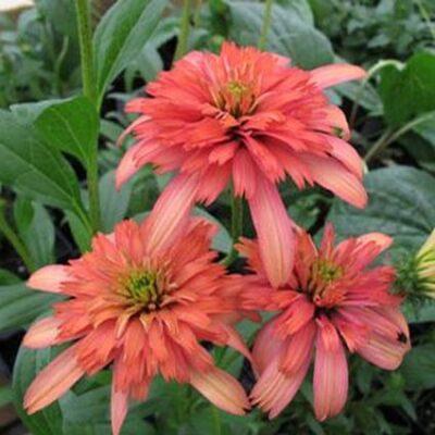 Secret Passion Coneflower Garden Plant