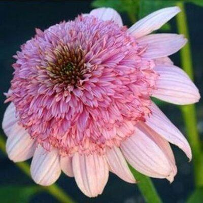 Secret Romance Coneflower Garden Plant