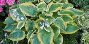 Seducer Hosta Garden Plant