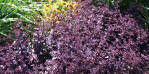Sedum Purple Emperor Garden Plant
