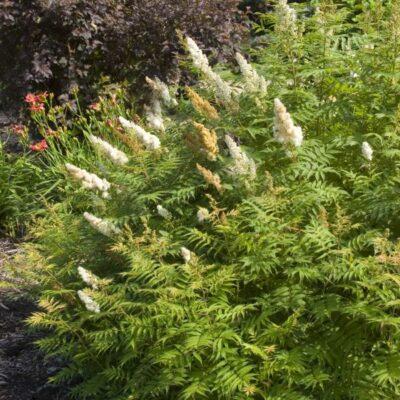 Sem Ash Leaf Spirea Garden Plant