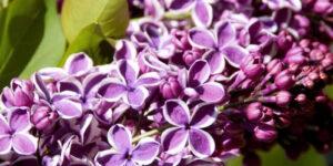Sensation Lilac Garden Plant