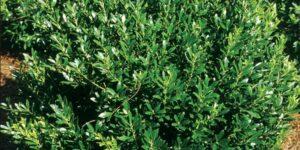 Shamrock Inkberry Garden Plant
