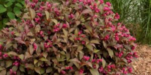 Shining Sensation Weigela Garden Plant