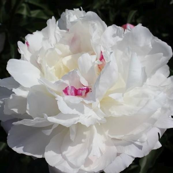 Shirley Temple Peony Garden Plant