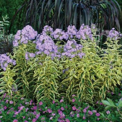 Shockwave Phlox Garden Plant