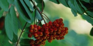 Showy Mountain Ash Garden Plant