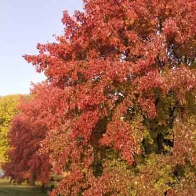 Sienna Glen Maple Garden Plant