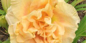 Siloam Peony Display Daylily Garden Plant