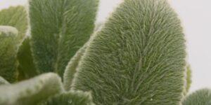 Silver Carpet Lambs Ear Garden Plant