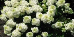 Silver Dollar Hydrangea Garden Plant