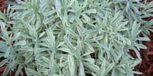 Silver Edge Lavender Garden Plant