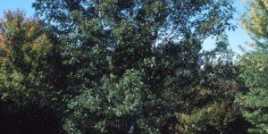 Silver Maple Garden Plant