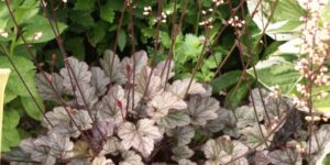 Silver Scrolls Coral Bells Garden Plant