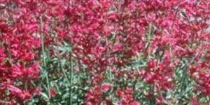Sinning Sonoran Sunset Hyssop Garden Plant