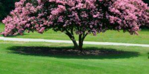 Sioux Crape Myrtle Garden Plant