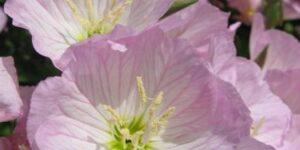 Siskiyou Evening Primrose Garden Plant