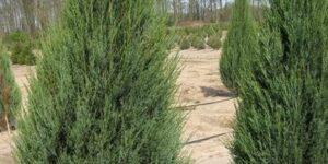 Skyrocket Juniper Garden Plant
