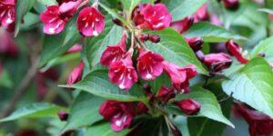 Snippet Dark Pink Weigela Garden Plant