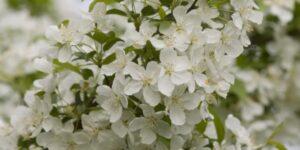 Snowdrift Crabapple Garden Plant