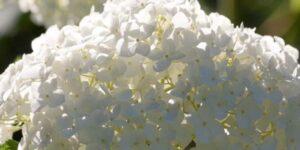 Snowhill Smooth Hydrangea Garden Plant