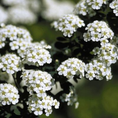 Snowmound Spirea Garden Plant
