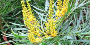 Soft Caress Mahonia Garden Plant
