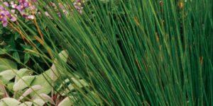 Soft Rush Grass Garden Plant