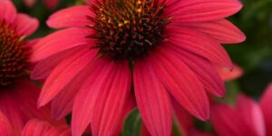 Sombrero Baja Burgundy Coneflower Garden Plant