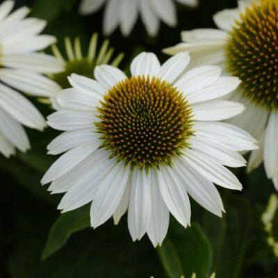 Sombrero Blanco Coneflower Garden Plant