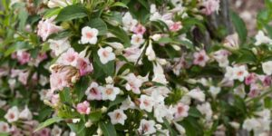 Sonic Bloom Pearl Reblooming Weigela Garden Plant