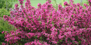 Sonic Bloom Pink Reblooming Weigela Garden Plant