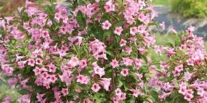 Sonic Bloom Pure Pink Weigela Garden Plant